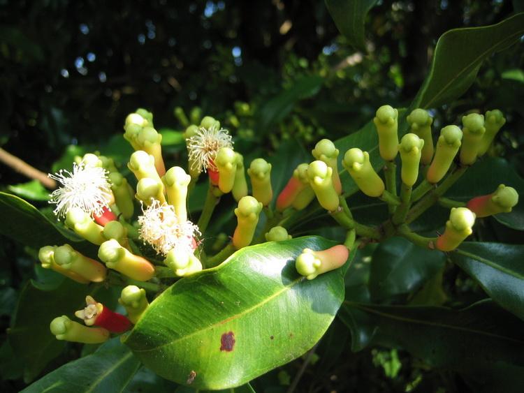 Гвоздика-растение