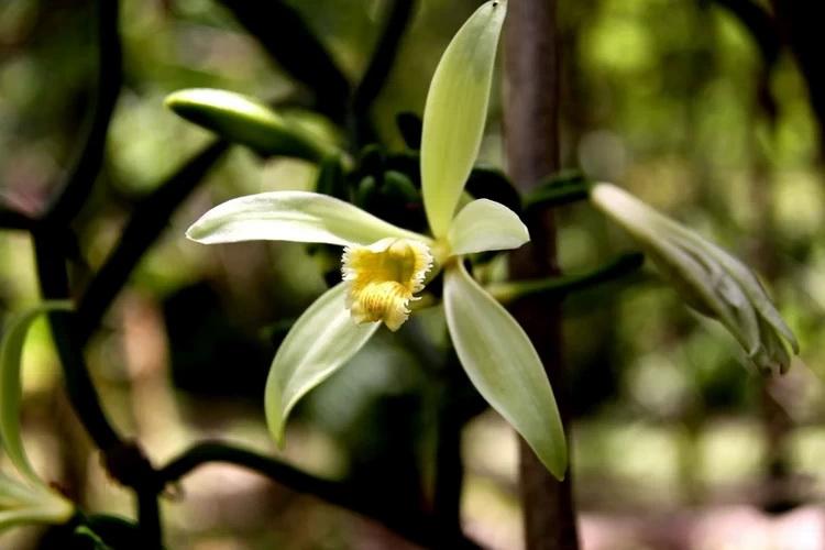 Ваниль-цветок крупный план