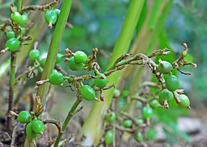 Кардамон-растение.