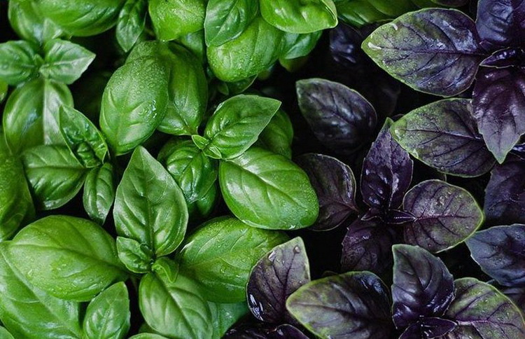 Базилик-зеленый и фиолетовый