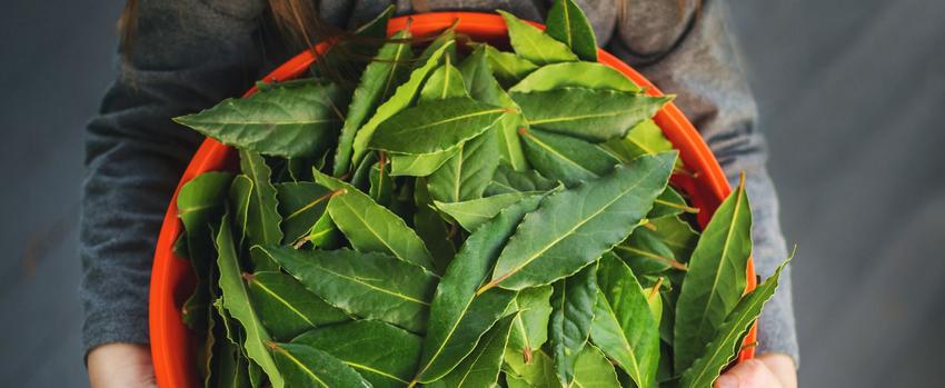Лавровый лист-специи и пряности урожай