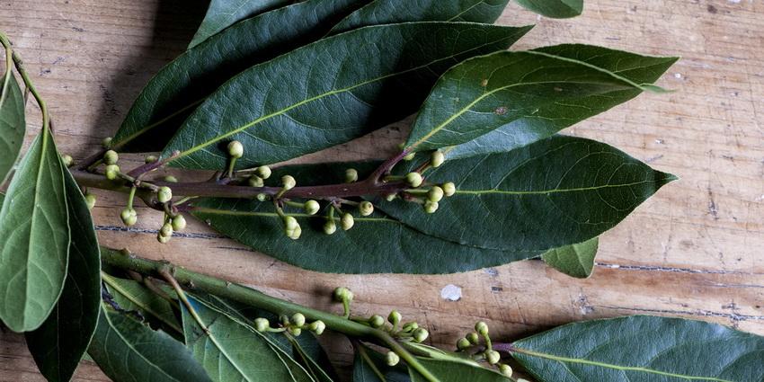 Свежий лавровый лист-специи и пряности