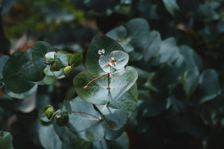 Эвкалипт — эффектное растение, которое приятно пахнет и очищает воздух квартиры