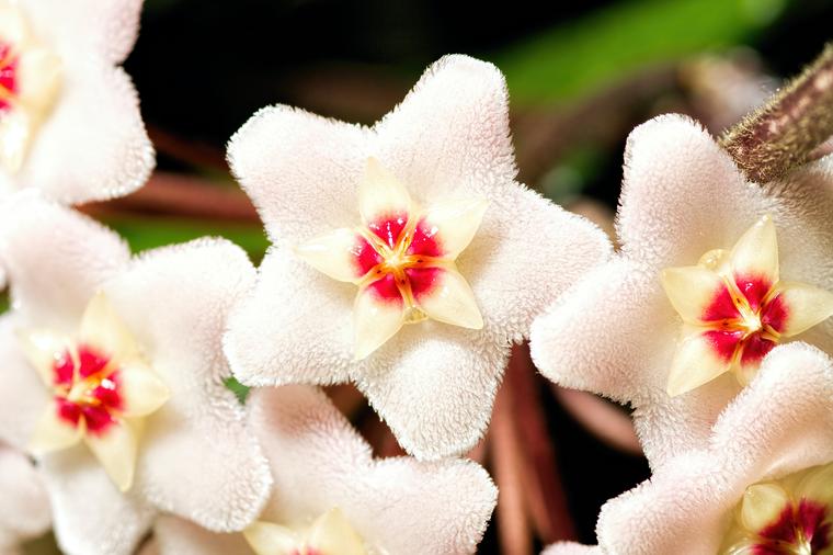 Хойя обладает цветами редкой красоты, за что занимает почетное место в домашних цветниках