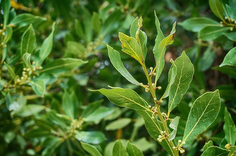 Лавр известен как специя, но может служить прекрасным домашним растением