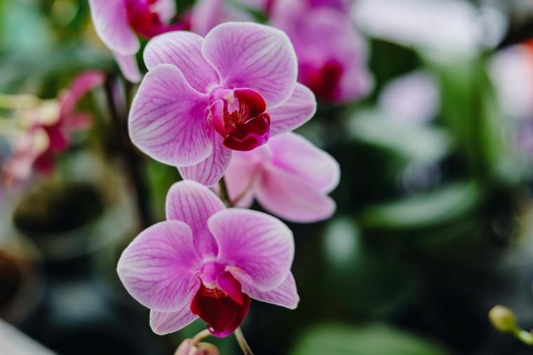 Орхидеи давно стали любимчиками цветоводов за свои декоративные свойства