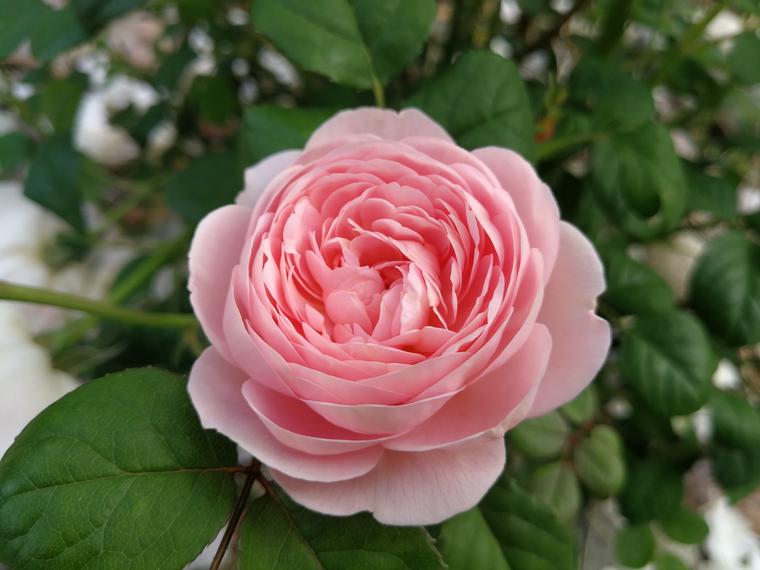 Роза — популярное среди цветоводов растение