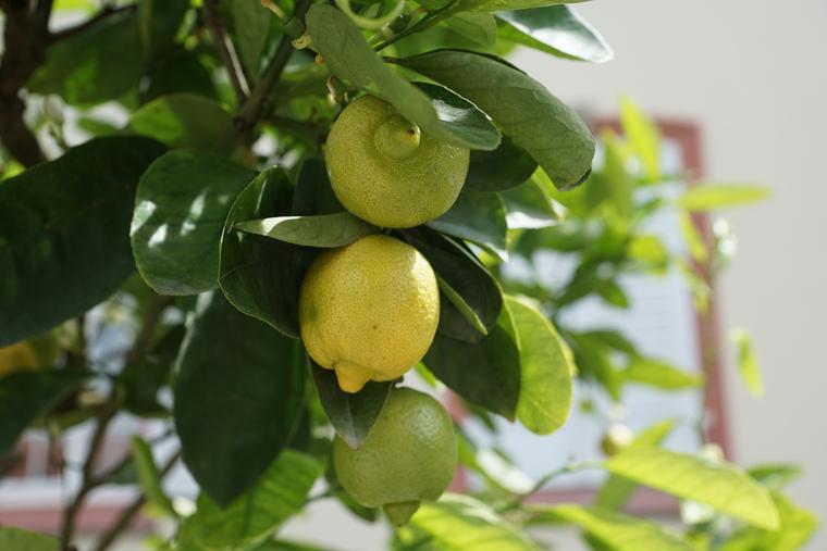 У цитрусовых пахнут все части растения